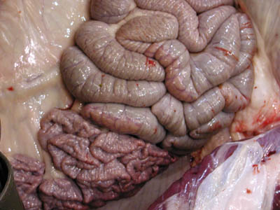 real intestines